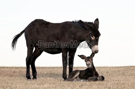 wild burro donkey equus asinus equus
