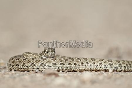 prairie rattlesnake western rattlesnake plains rattlesnake