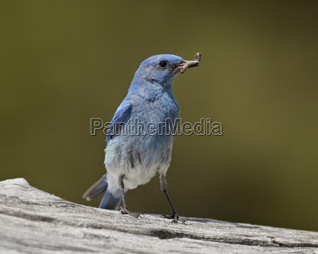 mountain bluebird sialia currucoides with a