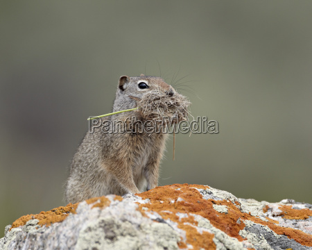 uinta ground squirrel urocitellus armatus with