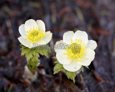 western pasqueflower anemone occidentalis glacier national