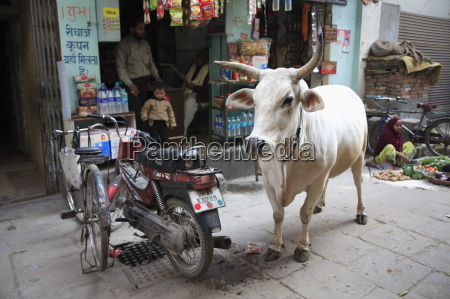 cow standing next to motorbike and