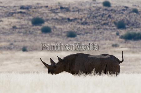 desert adapted black rhinoceros diceros bicornis