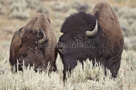 bison bison bison bull and cow