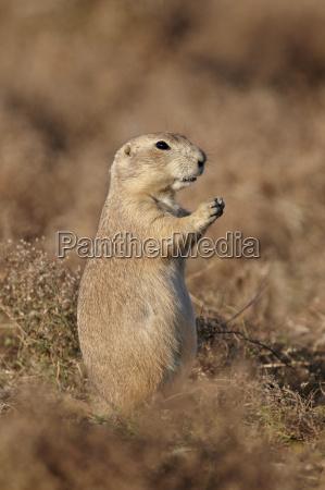 blacktail prairie dog cynomys ludovicianus theodore