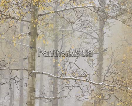 aspens in the fall in fog