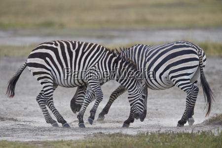 two common zebra plains zebra burchells