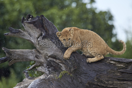 lion panthera leo cub on a