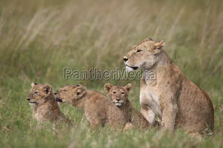 lion panthera leo female and three