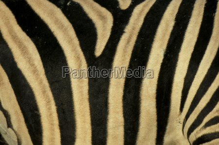 close up von zebra haut suedafrika