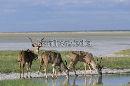 groessere kudu tragelaphus strepsiceros maennchen bei