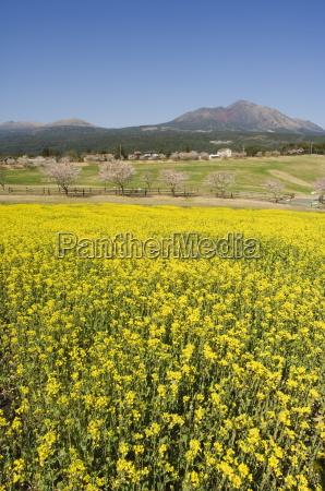field of yellow rape seed flowers