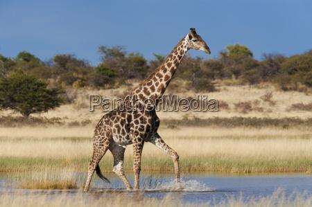 giraffe giraffa camelopardalis waten durch saisonales