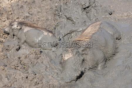 warthog phacochoerus aethiopicus waelzen mkhuze game