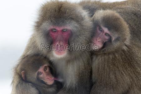 schneeaffen macaca fuscata gruppe mit baby