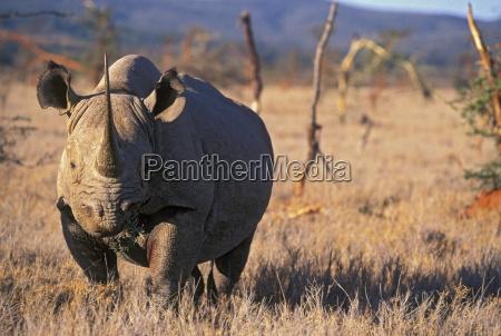 black rhino east africa africa