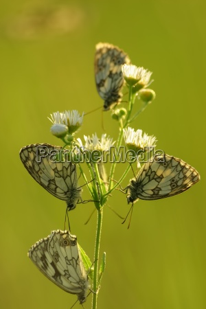 butterflies marbled white melanargia galathea on