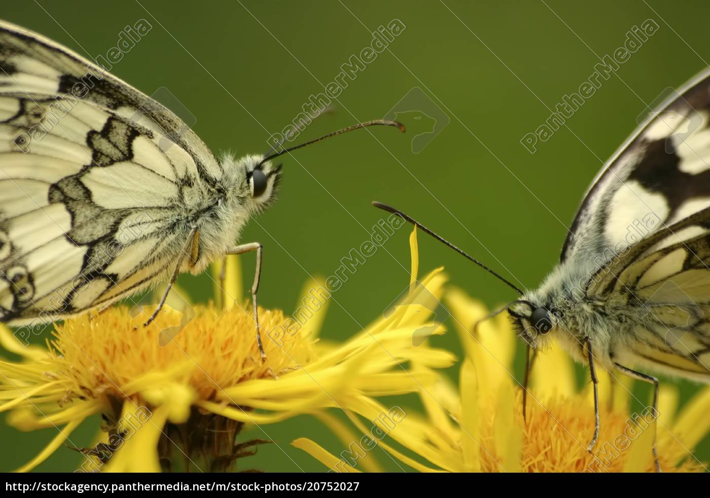 butterflies, marbled, white, (melanargia, galathea), on - 20752027