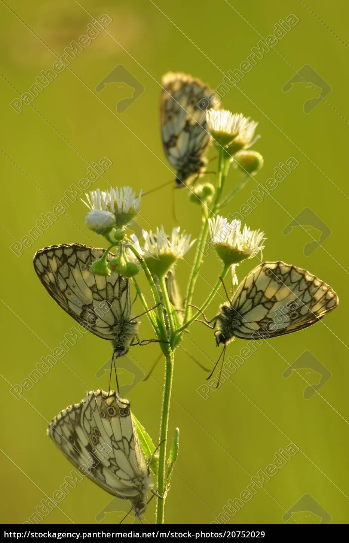 butterflies, marbled, white, (melanargia, galathea), on - 20752029