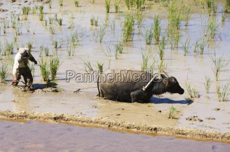water buffalo ploughing rice field sagada