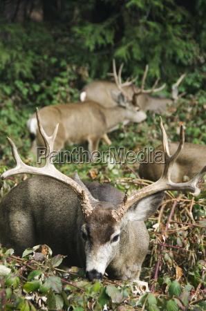 mule buck deer with an impressive