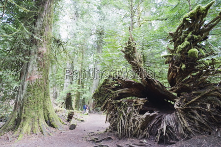 alter wachstumswald in cathedral grove macmillan