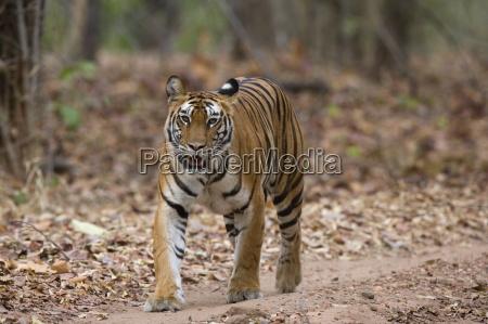 female indian tiger bengal tiger panthera