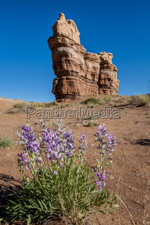 purple wild flowers capitol reef national