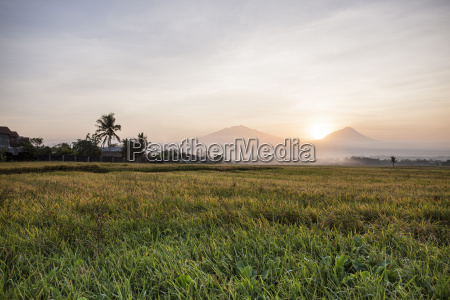 rice field and volcanoes java indonesia