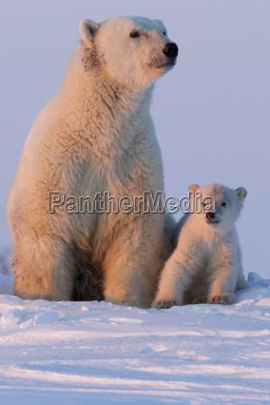 polar bear ursus maritimus and cub