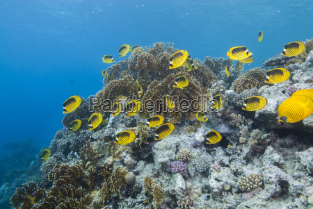 shoal of red sea raccoon butterflyfish