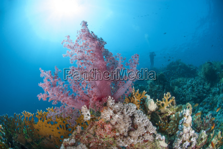 purple soft coral ras mohammed national