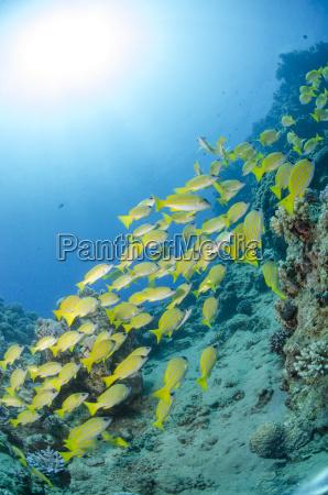 medium shoal or school of blue
