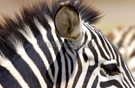 common plains zebra grants ngorongoro crater