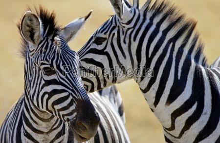 common plains zebra grants ngorongoro crater
