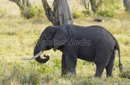 elephant feeding in ngorongoro crater tanzania