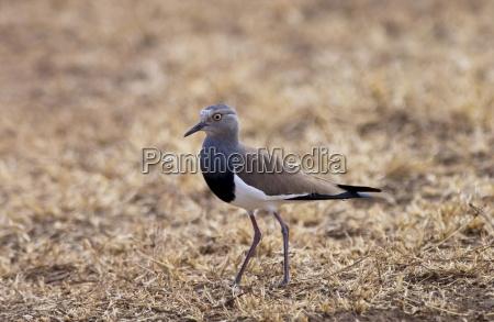 black winged lapwing ngorongoro tanzania east