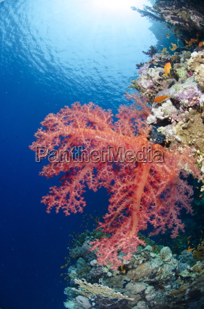 pink soft coral ras mohammed national