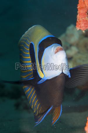 emperor angelfish pomacanthus imperator naama