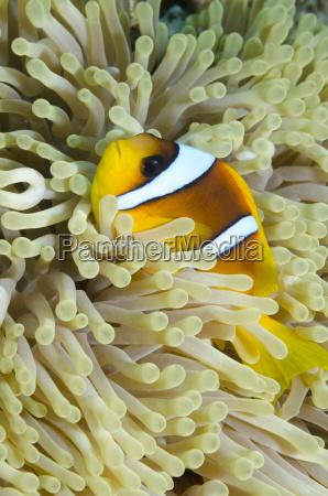 red sea anemone fish amphiprion bicinctus