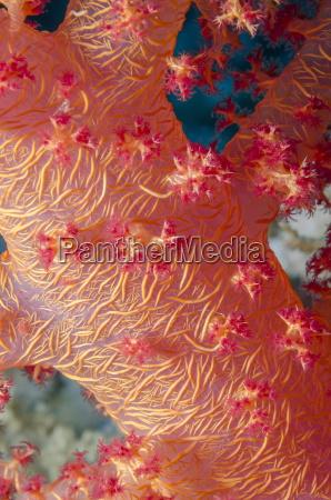rosa weiche brokkoli koralle dendronephthya hemprichi