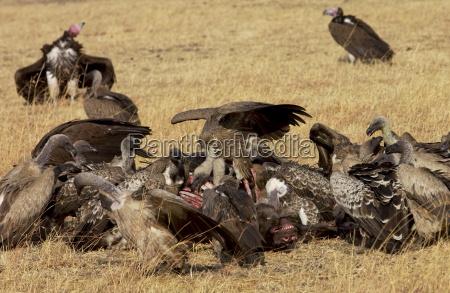 lappet faced vultures schlemmen auf einem