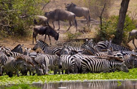 a herd of common plains zebra