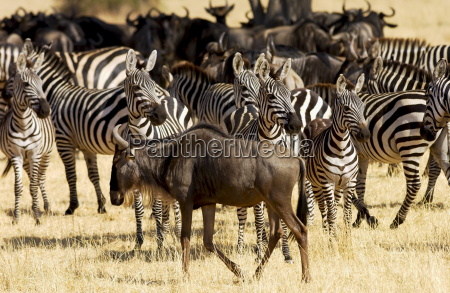blue wildebeest and common plains zebra