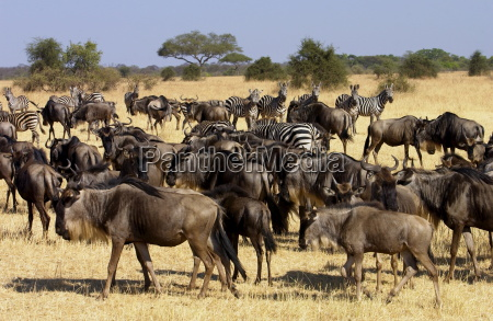 migrating blue wildebeest and common plains