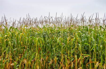 a field of maize plants
