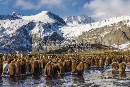king penguin aptenodytes patagonicus chicks okum