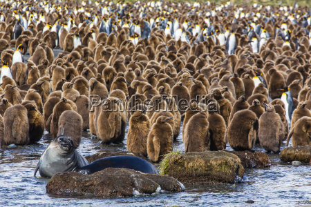 king penguin aptenodytes patagonicus chicks gold