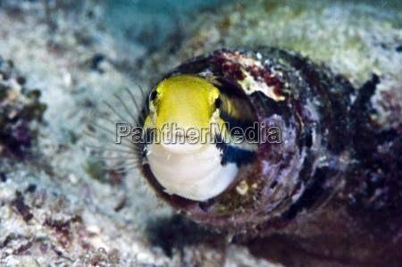 shorthead fangblenny petroscirtes breviceps inside a