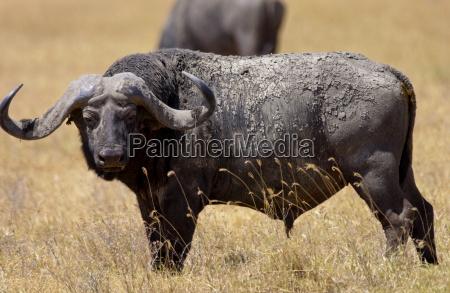 buffalo ngoro ngoro crater tanzania east